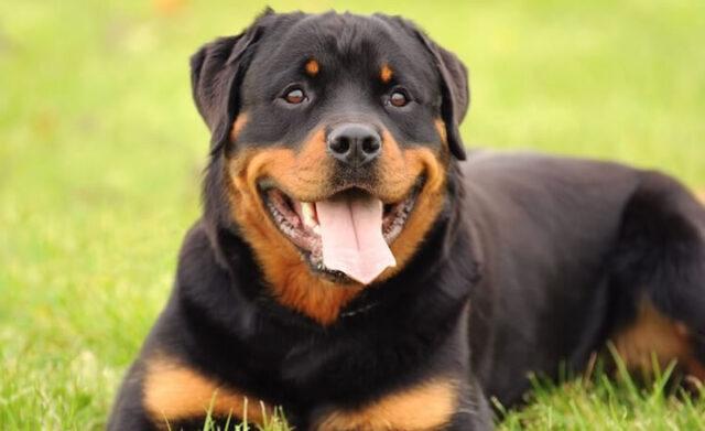 Rottweiler, perros potencialmente peligrosos